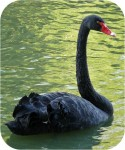 Cygne-noir